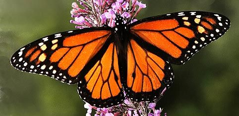 Monarch Butterfly Mariposa Monarca